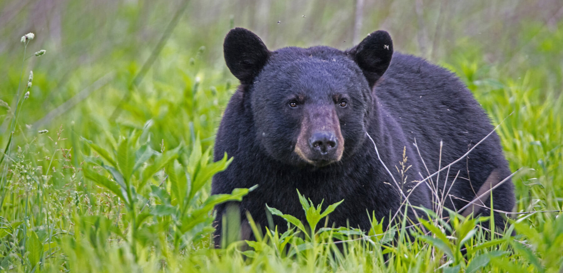 Black Bear Safety